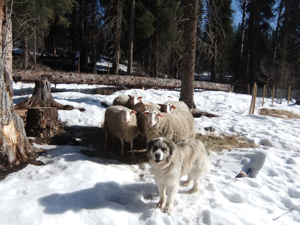 Ralph and his ewes.