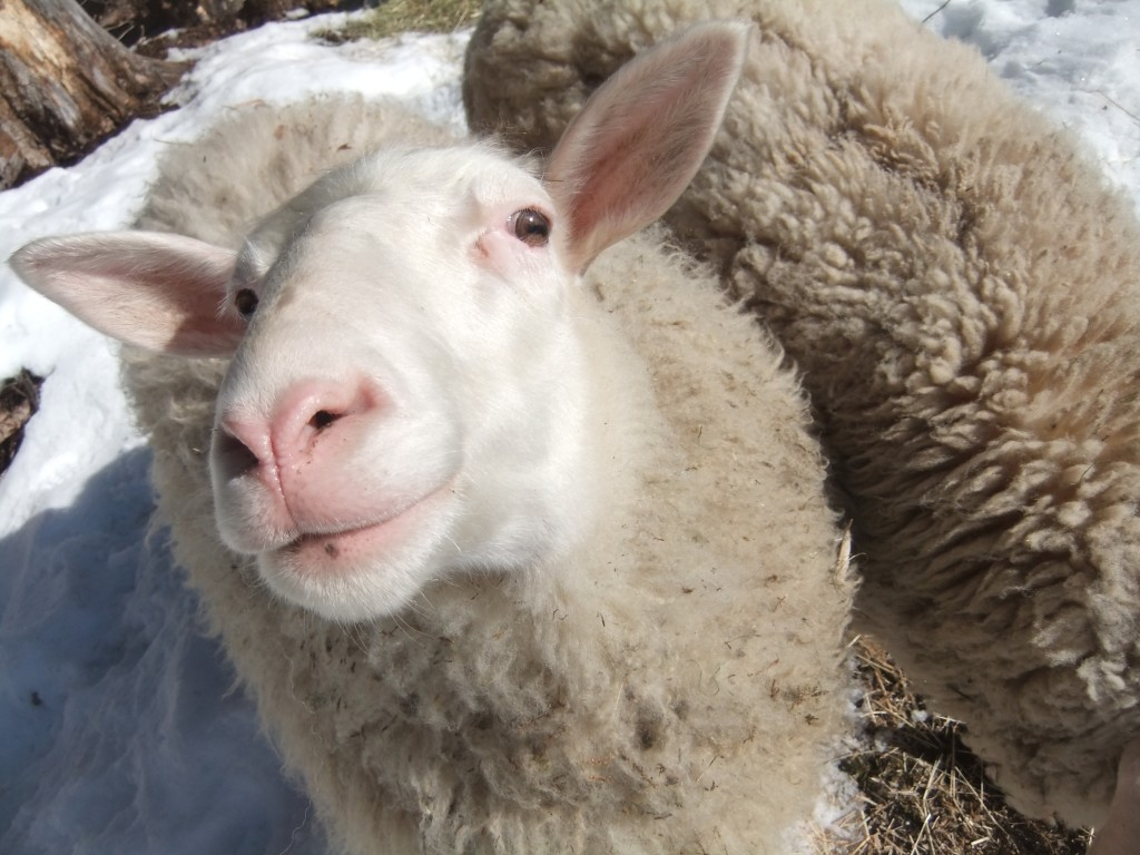 The ewe with the pretty face! (I know there are only 5 of them, but I didn't get their names straight).