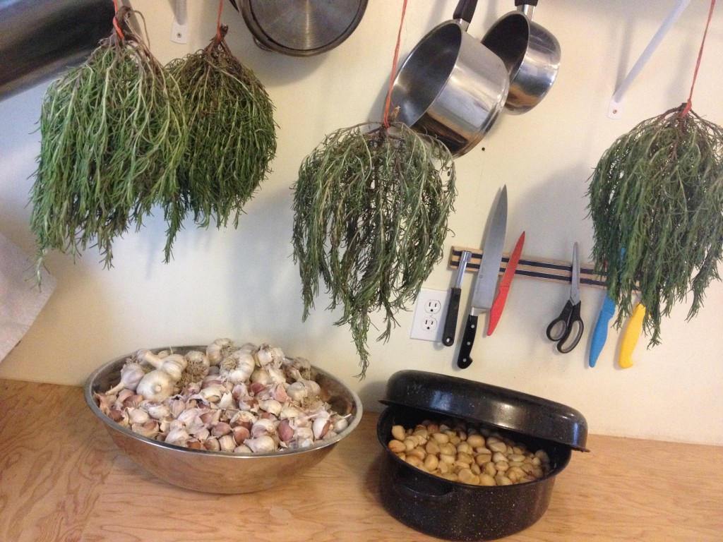 'Tis the season for processing food for the winter: peeling, roasting, and then freezing garlic for our Roasted Garlic & Olive Bread; drying rosemary for our Sun-dried Tomato and Rosemary Bread.